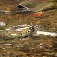 Chum salmon checking out the scene at Kitsap Salmon Tours (Photo by Cisco Valez)