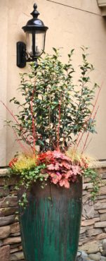 A newly planted Camellia sasanqua 'Setsugekka' is ready to bloom.