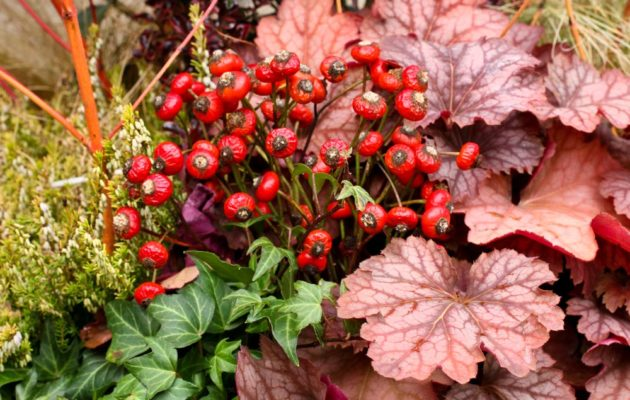 Under the Camellia is a planting of heath (Erica), coral bells (Heuchera), ivy and blood twig dogwood (Cornus 'Midwinter Fire').