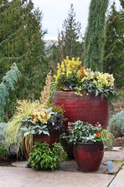 The large pot is anchored with a young Sequoiadendron giganteum 'Pendula' that will eventually be planted in the landscape. Other plants in the group include sedges (Carex), hellebores (Helleborus), false holly (Osmanthus), primrose (Primula), ivy (Hedera), arborvitae (Thuja occidentalis 'Rheingold') and heavenly bamboo (Nandina).