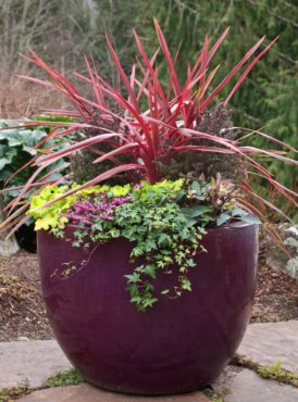 Cryptomeria flank either side of Cordyline 'Cherry Sensation.' Heuchera 'Lime Marmalade,' Helleborus 'Penny Pink,' heather and ivy fill in space underneath.