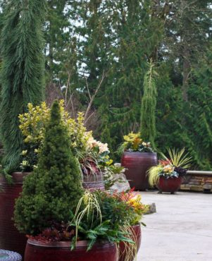 Alberta spruce (Picea glauca 'Conica') and weeping giant redwoods (Sequoiadendron giganteum 'Pendula') anchor these pot groupings that echo each other in plant material and color.
