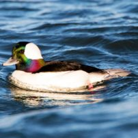 A male bufflehead shows his array of colors on a sunny day.