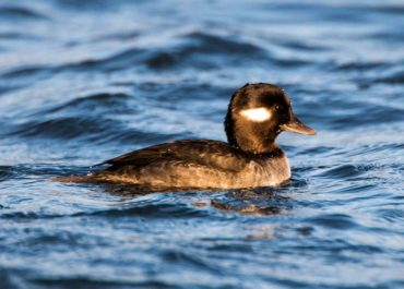A female bufflehead on the surface in between foraging dives