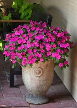 Impatiens walleriana Beacon select (often called busy Lizzy) is making a comeback. (Photo courtesy PanAmerican Seed)
