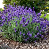 Lavender Sweet Romance by Proven Winners