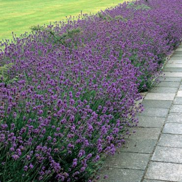 Lavender Munstead by Parkseed