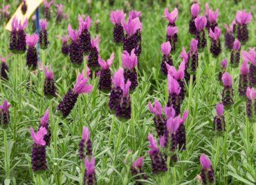 Lavender LeVela Dark Violet by Selecta
