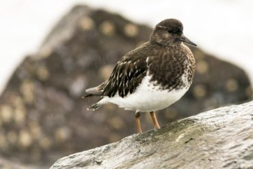 A black turnstone surveying its surroundings on a rainy day