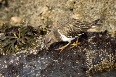 A black turnstone blending in with the rocks while foraging