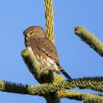A northern pygmy-owl contemplates its next move after being discovered by a flock of angry chickadees.