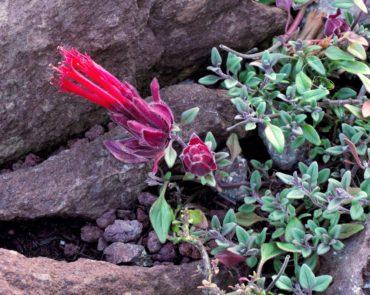 Monardella macrantha 'Marian Sampson'