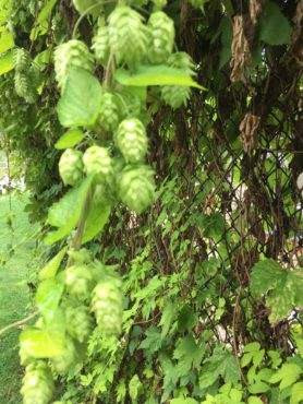Hops blossoms