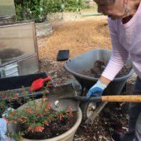 Ann Maughan transplanting Cuphea