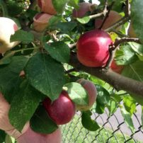 Espaliered 'Liberty' apples in 'footlets' to deter coddling moths
