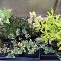 Cuttings are propagated for the garden.