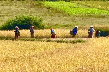 Harvesting rice outside of Kalaw