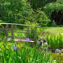 Foot bridge over the stream with a multitude of iris specimens