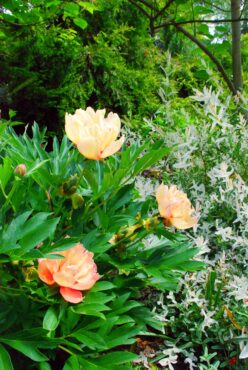Peony in the northern perennial and shrub border