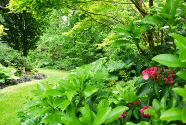 Kalmia in bloom in the south garden
