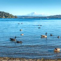 Puget Sound birds