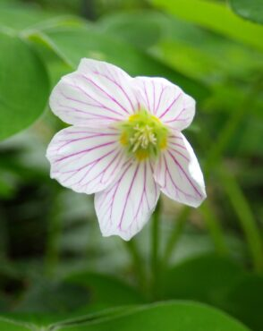 A native annual, Claytonia sibirica, Candy Flower, a.k.a. Siberian Miner's Lettuce
