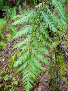 Giant chain fern, Woodwardia fimbriata, an uncommon native fern planted on the bank above the inlet