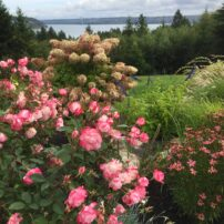 The Fall garden on Fox Island has a long view of the Tacoma Narrows Bridge.