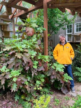 Lynn McIntyre inside the cat enclosure with her robust oak leaf hydrangea
