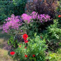 An explosion of colors in the fenced garden