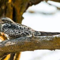 A common nighthawk rests on a tree branch, where it resembles a knot of wood from a distance.