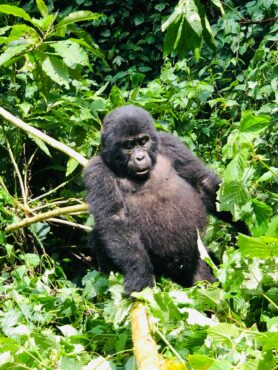 Three-year-old gorilla