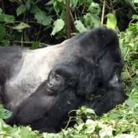 Silverback male with toddler