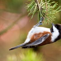 An agile chestnut-backed chickadee hangs upside down from the tips of pine needles while searching for insects.