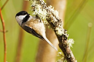 A black-capped chickadee clings to lichen while gleaning insects from a tree branch.
