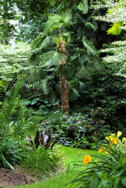 A path leads under a foliar canopy of Styrax japonica 'Frosted Emerald,' Aralia elata 'Variegata' and a windmill palm (Trachycarpus fortunei).