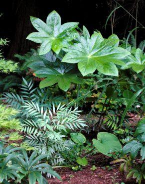 Podophyllum versipelle and Mahonia 'Soft Caress'