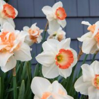 Delnashaugh is one of the most impressive double daffodils with its frilly petals, while early blooming Pink Pride has ruffled cups that start off apricot and gradually turn coral pink. (Photo courtesy of Longfield-Gardens.com)