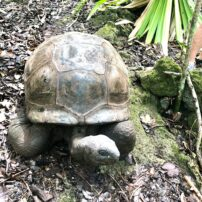 Giant tortoise now being bred from neighboring islands