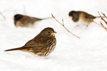 A fox sparrow forages in snow near dark-eyed juncos.
