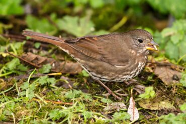 A fox sparrow blends in with the surrounding leaf litter as it nibbles on a sunflower seed.