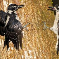 Female hairy woodpeckers in a territorial dispute