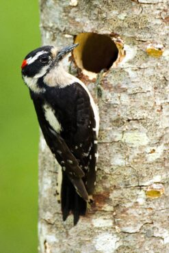 A male downy woodpecker visits the nest hole that he and his mate painstakingly carved in an alder tree.