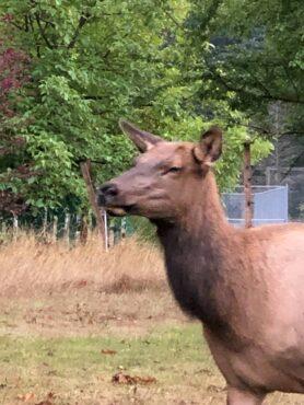 Elk wandering through downtown Packwood, Washington