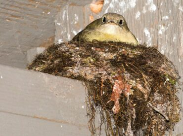 A Pacific-slope flycatcher sits on her nest, built under the eaves of a campground restroom.