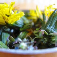 Dandelion roots, leaves and flowers are edible and incredibly nutritious. Dandelion also makes a dandy jelly. (Photo courtesy Langdon Cook)