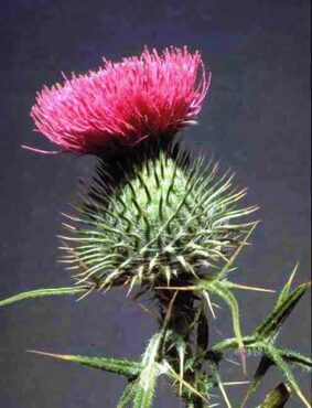Wear gloves when harvesting this spiky plant. (Photo courtesy King County)