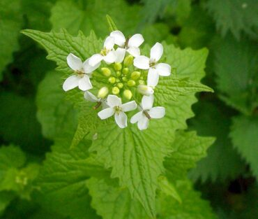 Garlic mustard can be used as a flavoring in salads and sauces such as pesto. The leaves are best when young and taste of garlic and mustard. The flowers and roots have notes of horseradish and garlic. (Photo courtesy Peter O'Connor)