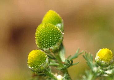 Pineapple weed tastes like — surprise! — a mild pineapple. The leaves and flowers are edible raw and can be used to make a tea. (Photo courtesy Deanster/Creative Commons)