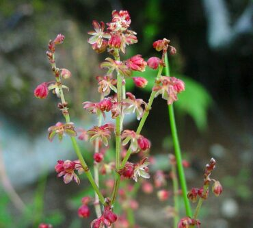 Sheep sorrel leaves are delicious chopped in salads, the seeds are good raw or cooked, and ground-up dried leaves can be used to make a flour for baking or to thicken soups. (Photo courtesy Native Plant Trust)